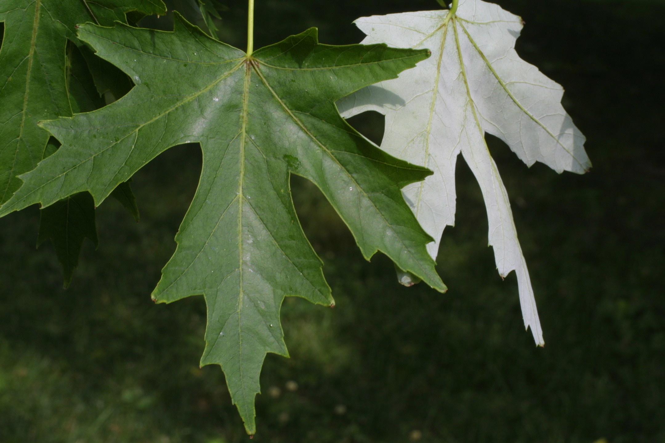 Leaf for mac