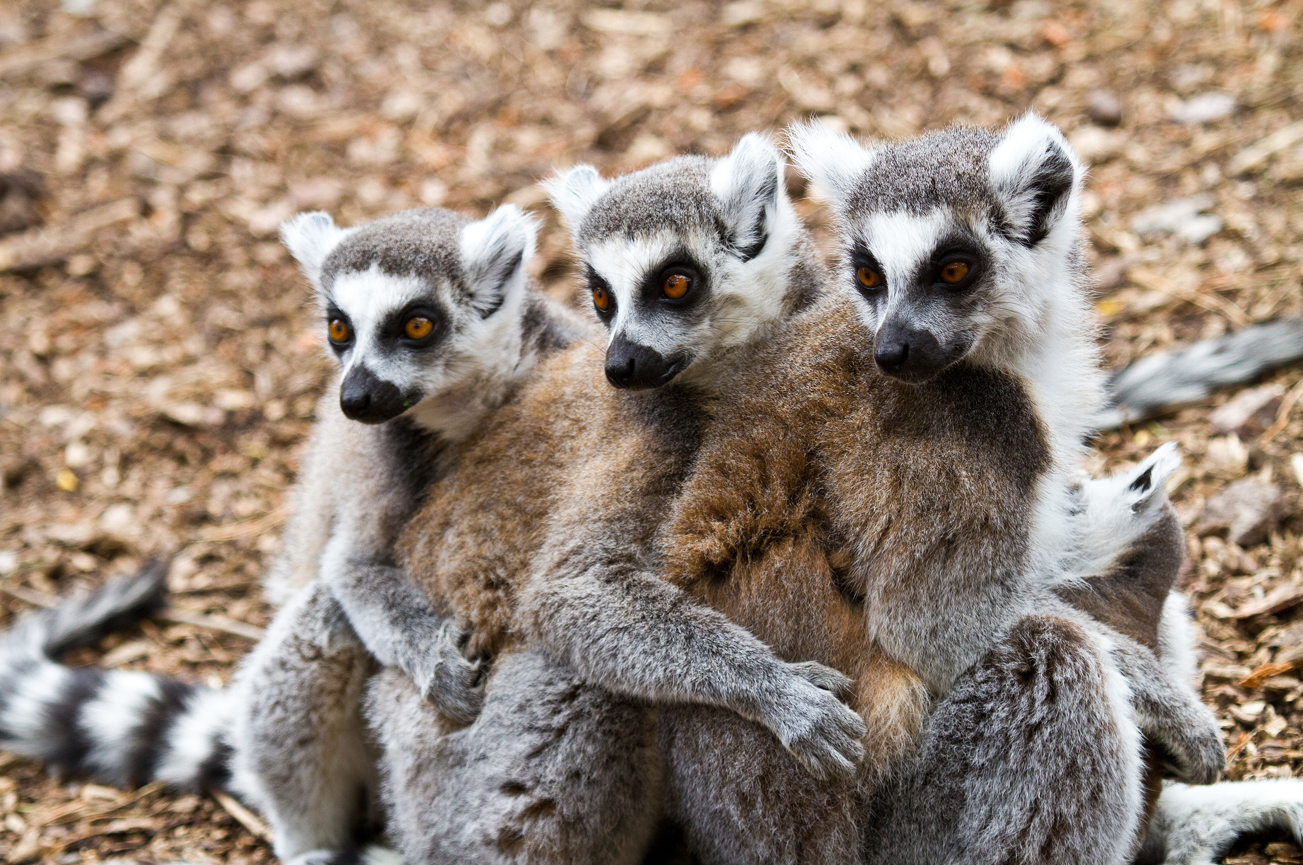 4K Lemur Wallpapers High Quality | Download Free