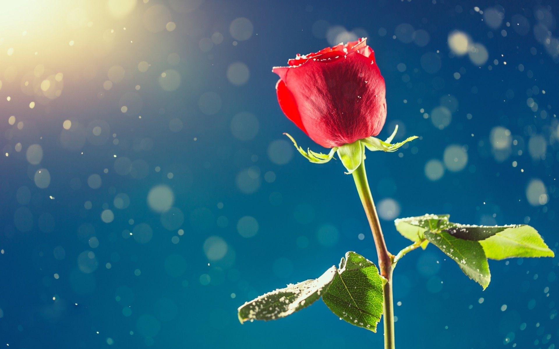 A Single Rose Wallpapers High Quality   Download Free