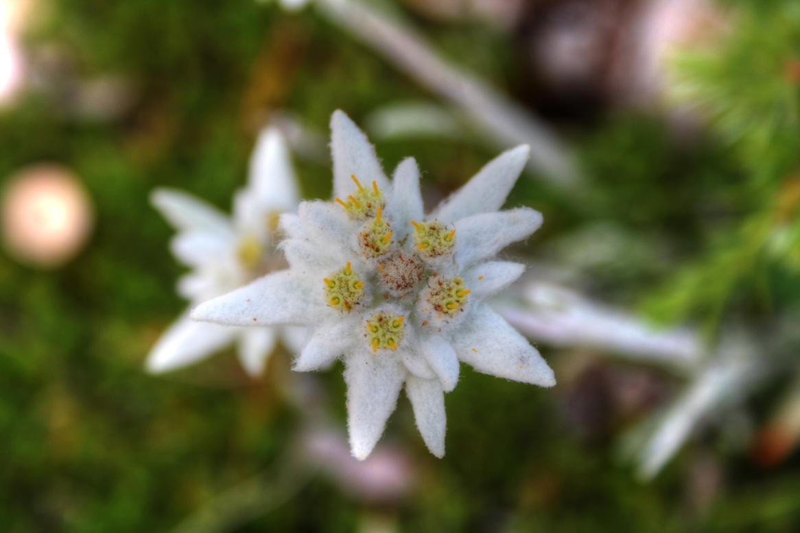 фотографии цветка эдельвейс самый запах, создающий