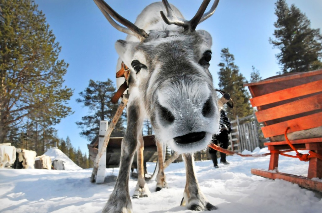 Christmas Reindeer Wallpapers High Quality | Download Free